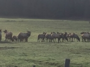 Elk in pasture
